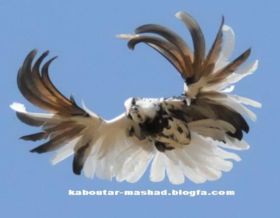 پرواز كبوتر پلنگ(بسيار زيبا)
