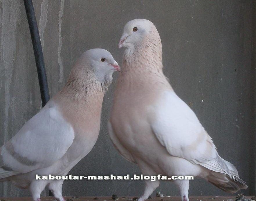 كبوتر سوريه (خرطومي)
