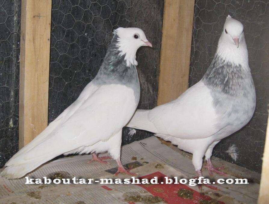 کبوتر مشهد pigeon photo gallery